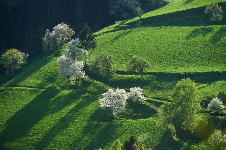 Fantastic afternoon spring fields with white blooming trees on steep slopes with shiny green meadows.
