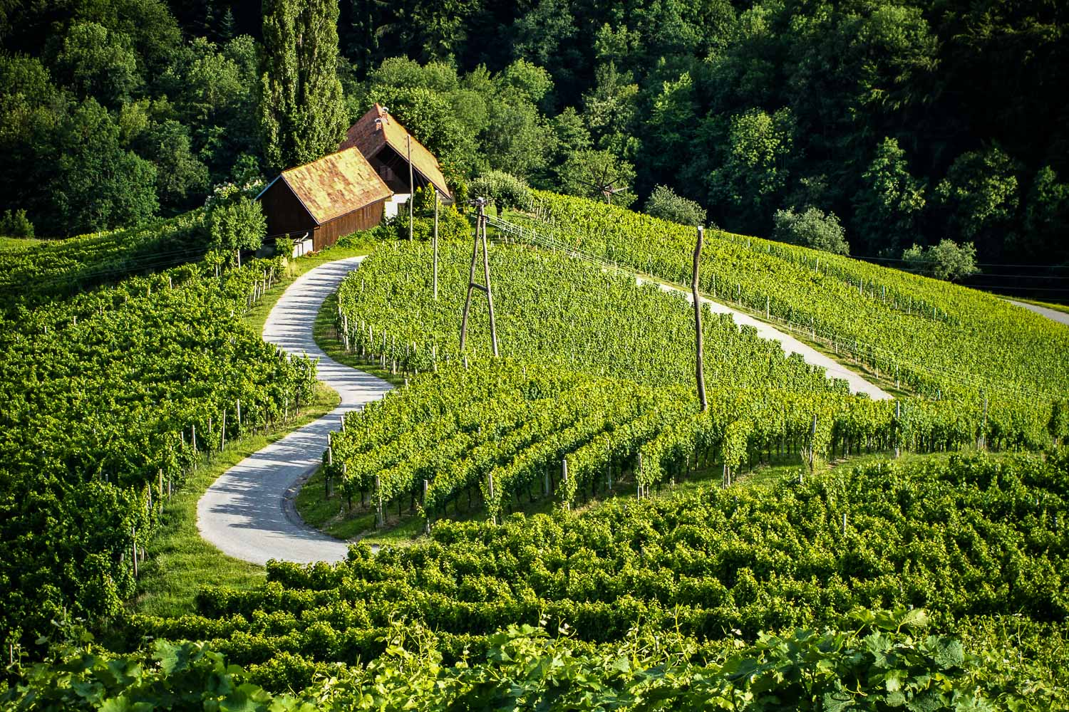 Sprouting vineyard near Maribor, encircled with a road into a beautiful heart shape.