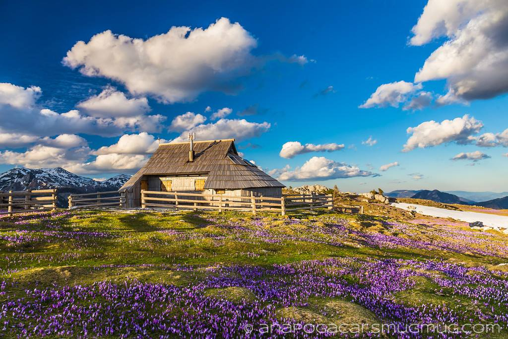 Spring hiking trip view of the traditional shepherd's cabin amid a meadow with blooming violet crocuses on Velika Planina.