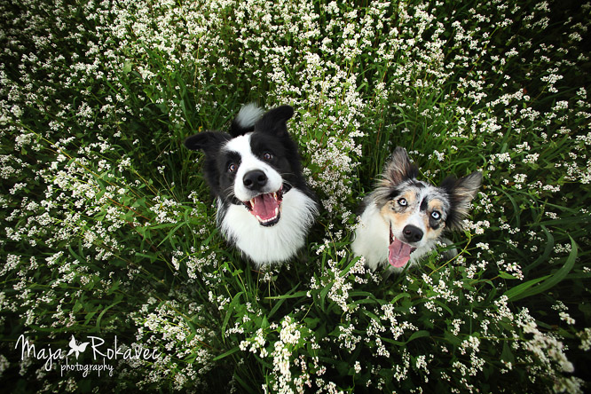 Vertical caption of two happy border collie dogs sitting on a beautiful meadow in bloom.