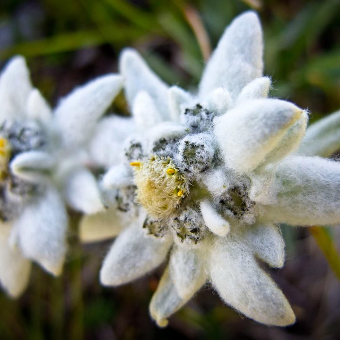 Edelweiss flowers in the Julian Alps, Slovenia